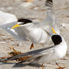 Least Terns kevinedwards/imagelibrary/